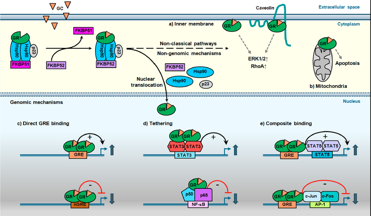 mechanism of action of steroids in cancer chemotherapy