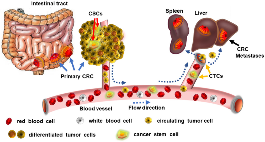 Cancer Stem Cells Stemness Markers And Selected Drug Targeting Metastatic Colorectal Cancer And Cyclooxygenase 2 Prostaglandin E2 Connection To Wnt As A Model System