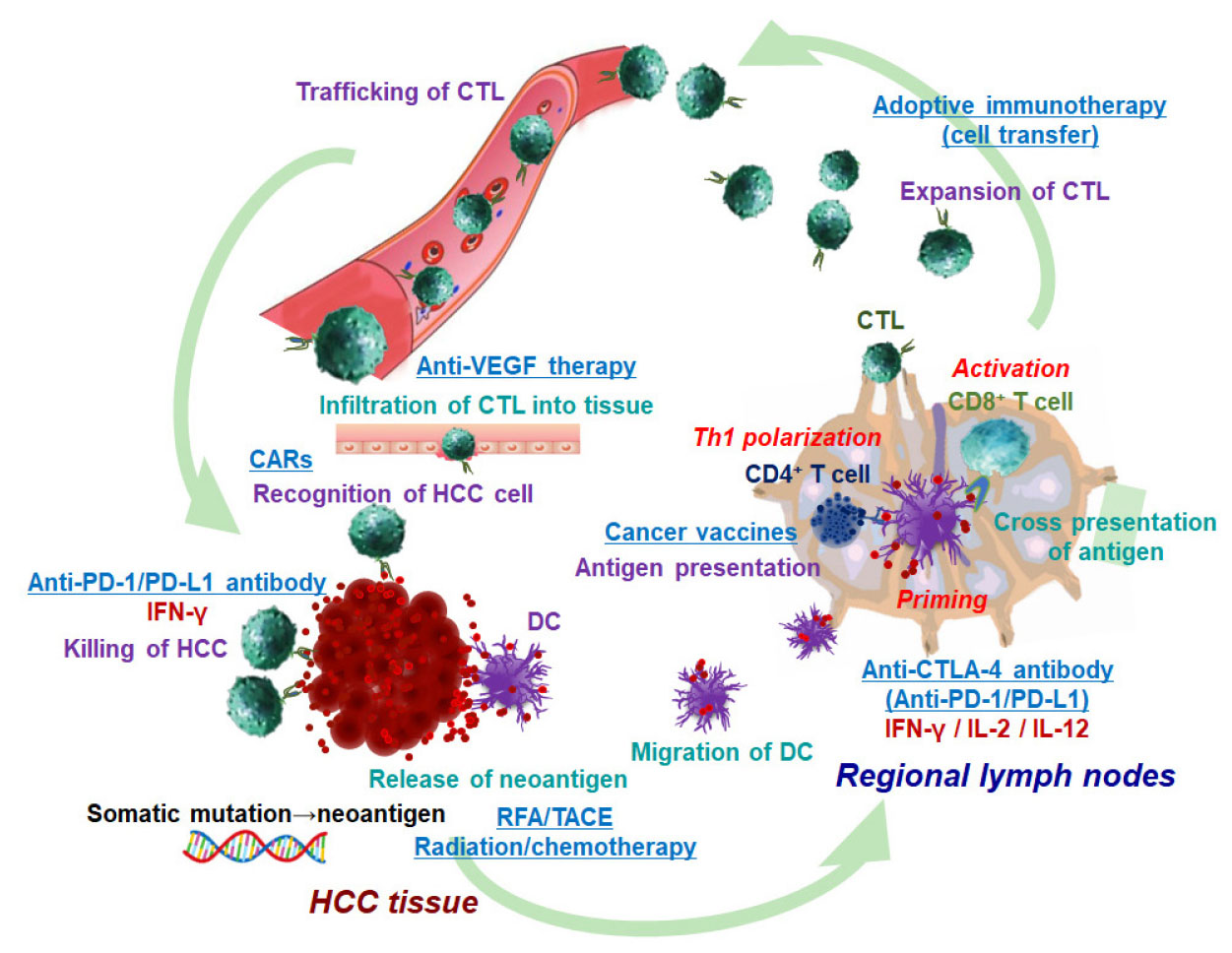 Cancer immunotherapy for hepatocellular carcinoma
