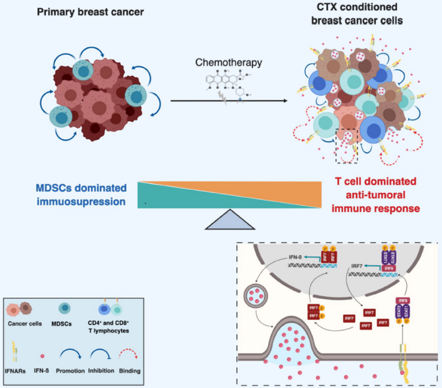 Chemotherapy-induced immunological breast cancer dormancy: a