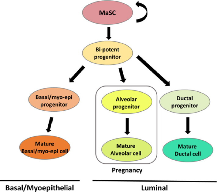 A new view of the mammary epithelial hierarchy and its