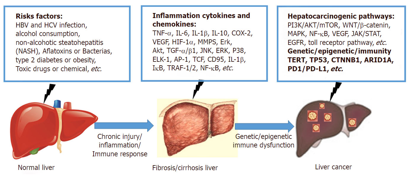 Understanding the inflammation-cancer transformation in the development of  primary liver cancer