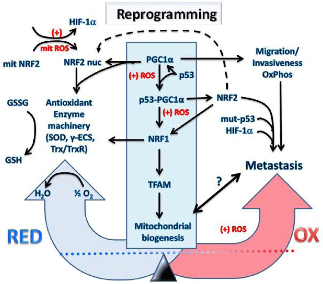 NSAID celecoxib: a potent mitochondrial pro-oxidant cytotoxic agent