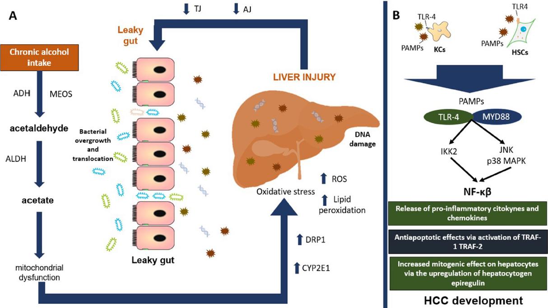 Dysbiosis liver, Microbiota intestinală schimbă paradigmele în ciroza hepatică