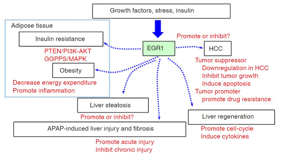 Role Of Early Growth Response 1 In Liver Metabolism And Liver Cancer
