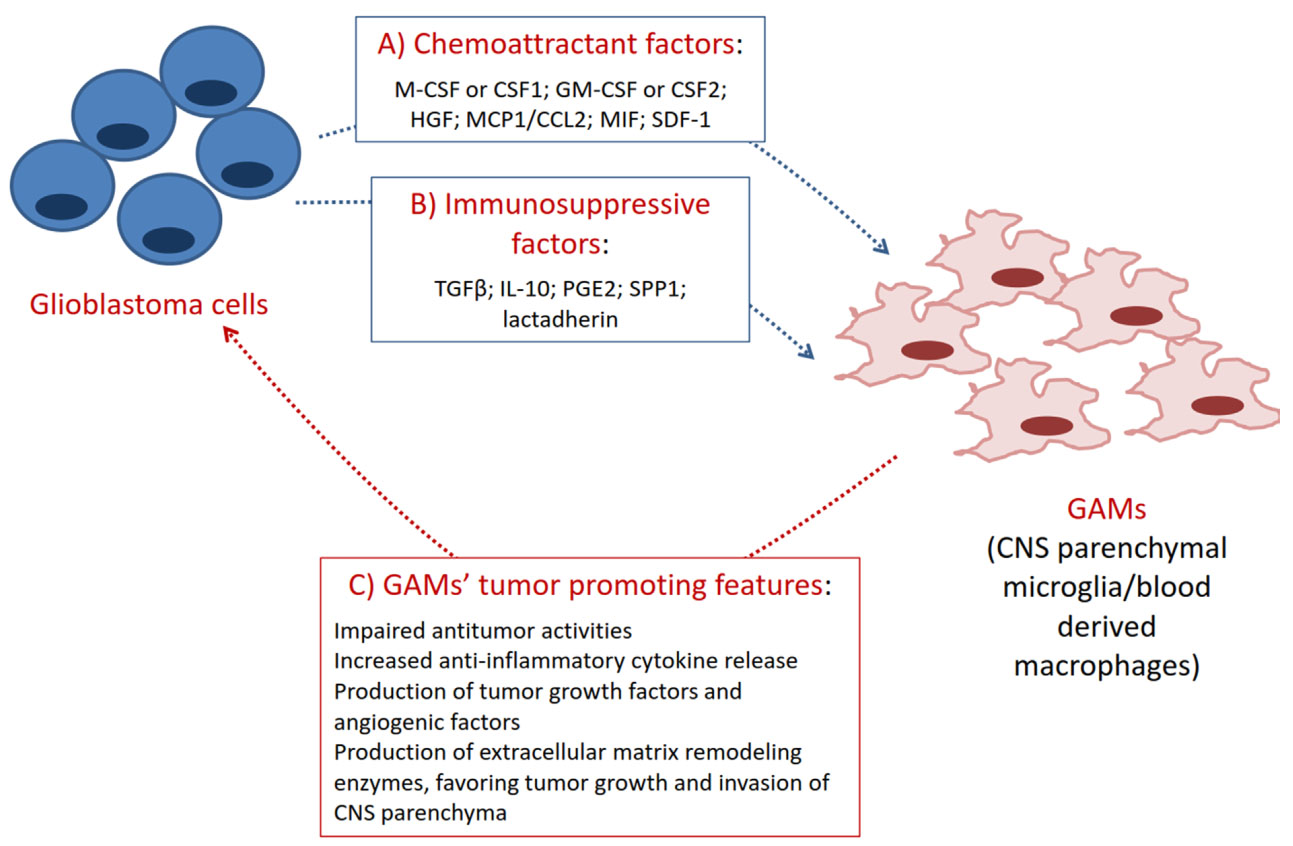 Glioma associated microglia/macrophages, a potential