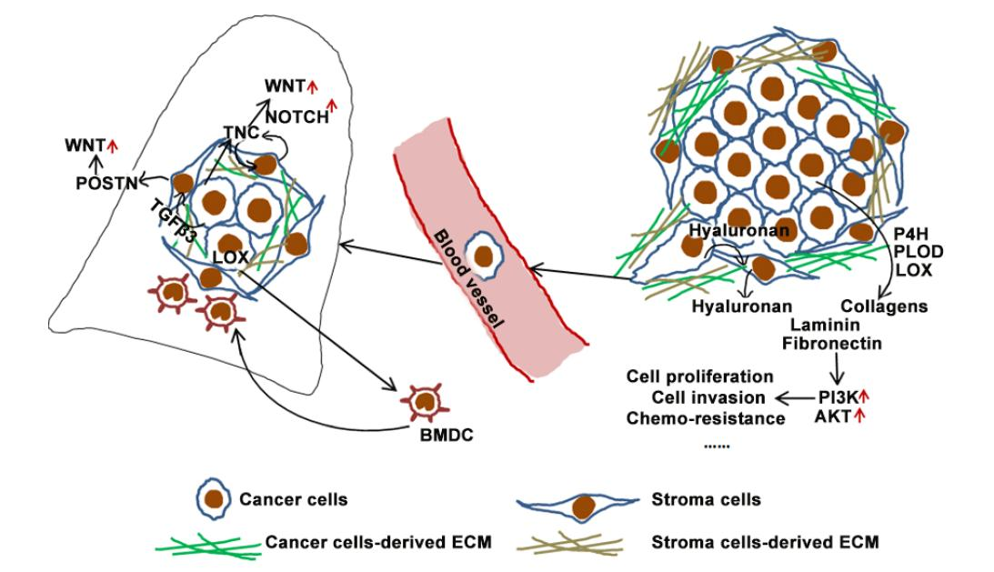 Function Of Cancer Cell Derived Extracellular Matrix In Tumor